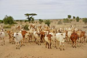 Daasanech tribe with cattles